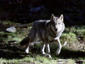 La présence d'un loup attestée à Malmedy
