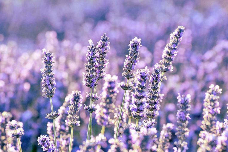 Lavendel snoeien Beeld Getty Images