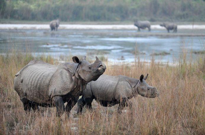 De Indische neushoorn is met uitsterven bedreigd.