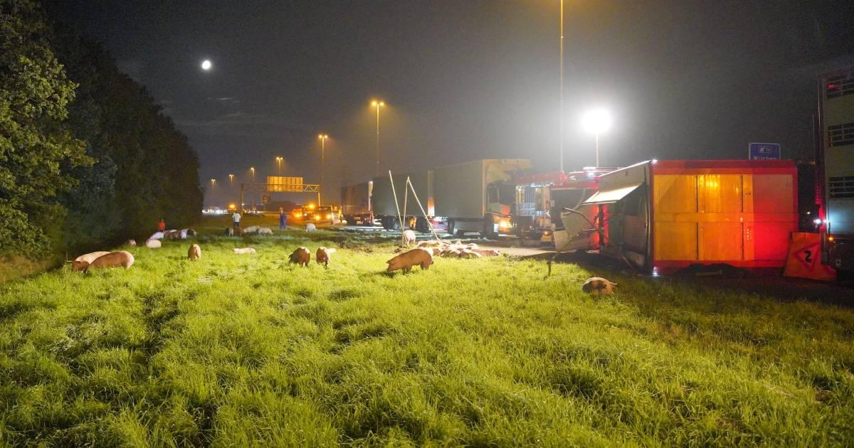 Varkens dood bij ongeluk op A73, vrachtwagen kantelt bij Nijmegen.