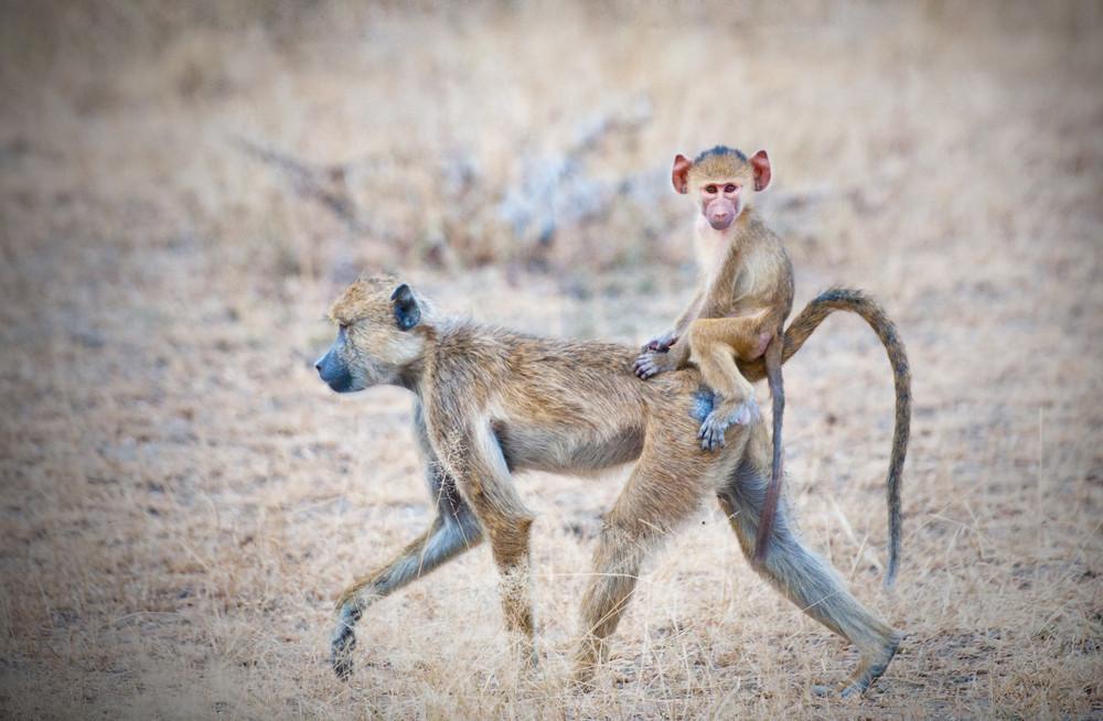 De gele baviaan weet op een dag wél aan 10.000 stappen te komen.