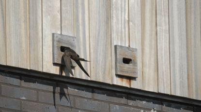 Steeds meer gierzwaluwen aan de Voorhavenlaan. Wie helpt mee deze bijzondere vogels in de gaten houden?