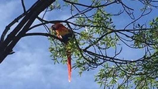 De geelvleugelara in de boom.