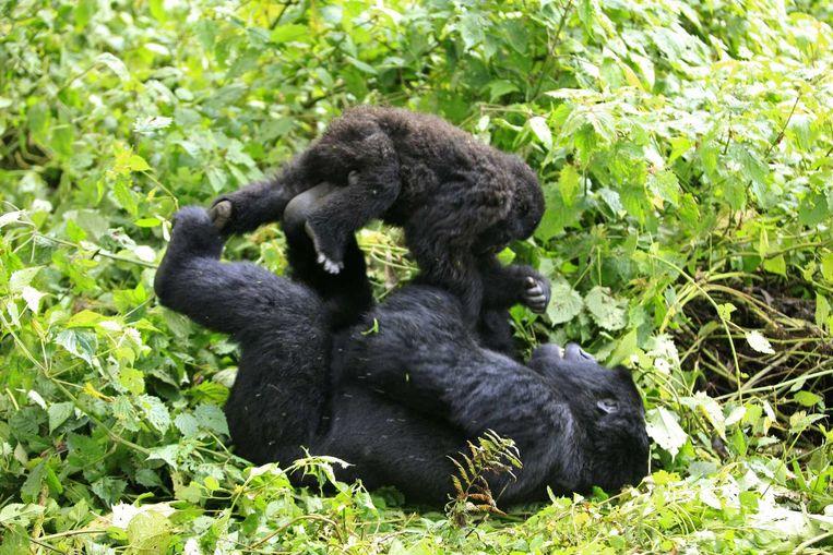Twee berggorilla's spelend in het park.