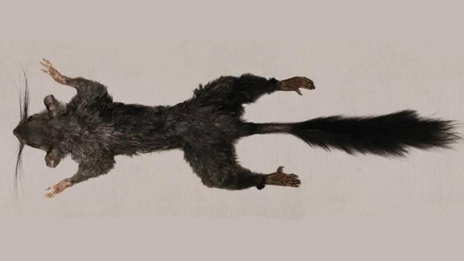 Wetenschappers hebben Zenkerella gevonden: 's werelds meest mysterieuze zoogdier