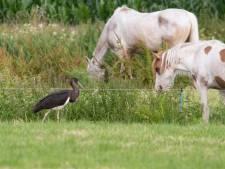 Bijzonder: deze zwarte (!) ooievaar struint door het Baarns weiland