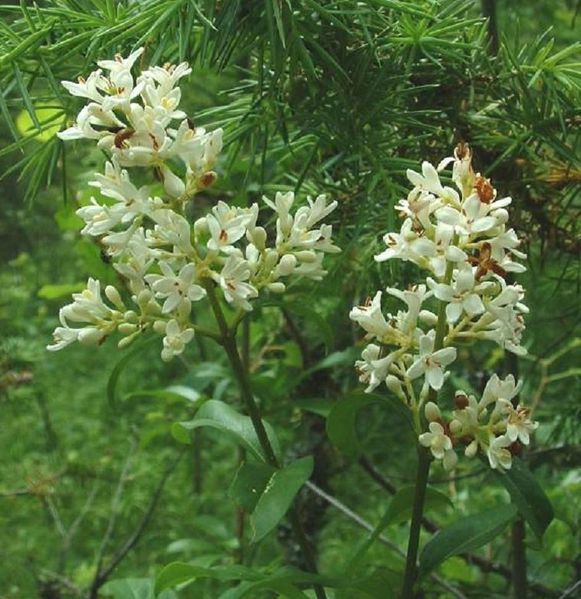 Wilde liguster in bloei. De geur van de bloesem doet darmkankercellen afsterven.