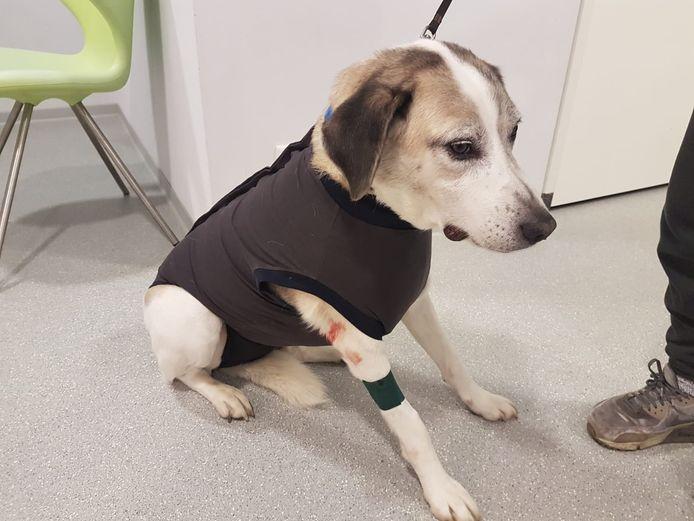 Hond Limé na het bijtincident, met het jasje aan dat de wond op zijn borst moet beschermen.