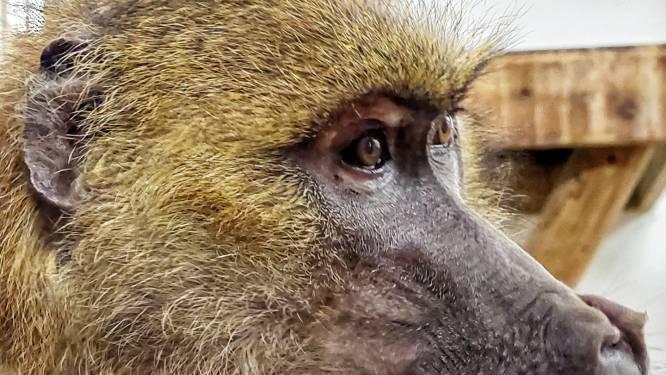 """Dierenopvangcentrum De Zonnegloed vraagt hulp voor baviaan Andrea: """"Tandingreep nodig zodat ze opnieuw vol goesting kan eten"""""""
