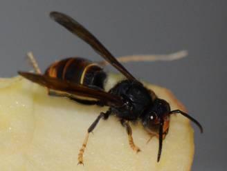 Gezocht: 42 nesten van Aziatische hoornaars