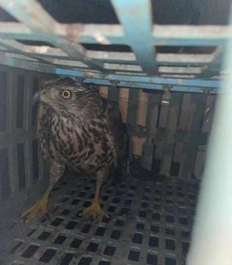 Stroper zit vast, zijn in Staphorst gevangen vogel krijgt de vrijheid terug