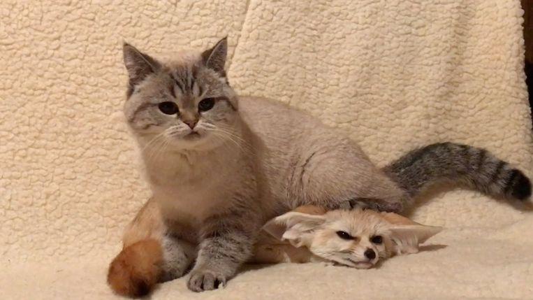 Een kat en een vos samen aan het spelen. Beeld Youtube
