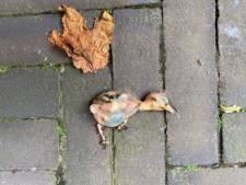 Snoeiwerkzaamheden in stadhuistuin stilgelegd na vondst dode kuikens: 'Dit is een schandvlek'