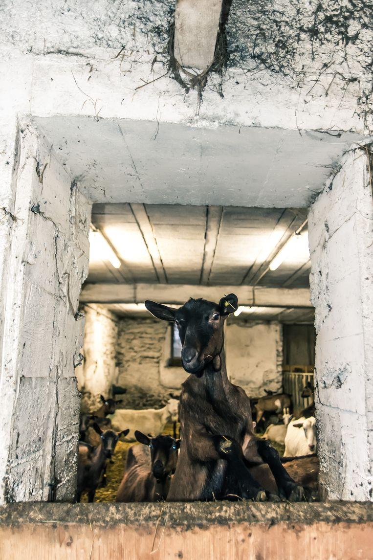 Een nieuwsgierige geit in de chèvrerie van Villaroger.  Beeld Sebastiaan Bedaux