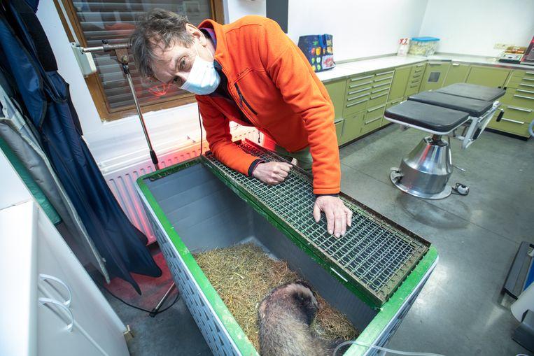 De neergeknuppelde das wordt verzorgd in het dierenopvangcentrum van Opglabbeek. Beeld Mine Dalemans