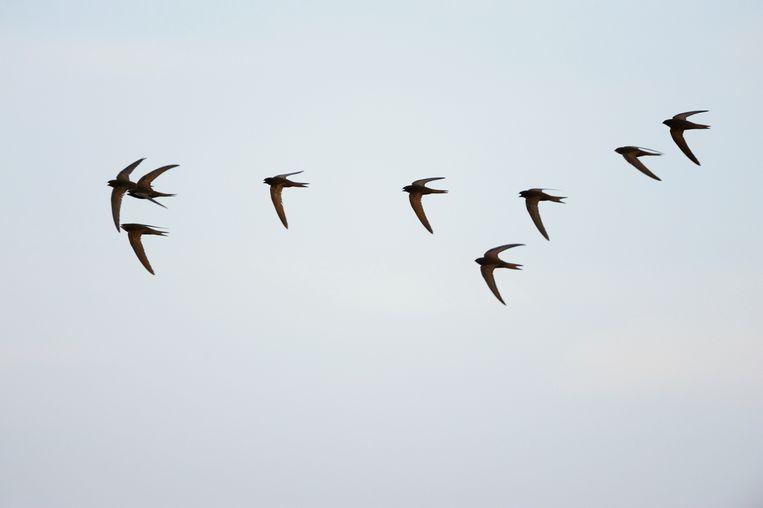 Naast de zwarte specht en de drieteenstrandloper vliegt ook de gierzwaluw voorbij in 'Fwiet! Fwiet!' Beeld BELGAIMAGE