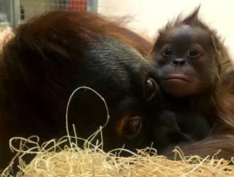 Schitterende beelden: babyaapje mag twee weken na geboorte eerste keer bij moeder