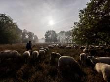De schapen spelen een grotere rol dan we denken in Twente