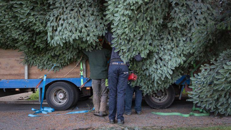 De takken van de kerstboom die nu op de Dam staat, en afkomstig is uit het Duitse Niederheiden, worden opgebonden voor transport Beeld Dingena Mol