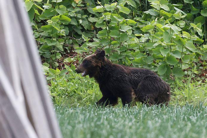Un ours avait été repéré mardi, puis à nouveau mercredi, quelques heures avant l'ouverture du stade pour un match olympique de softball opposant le pays hôte, le Japon, à l'Australie.