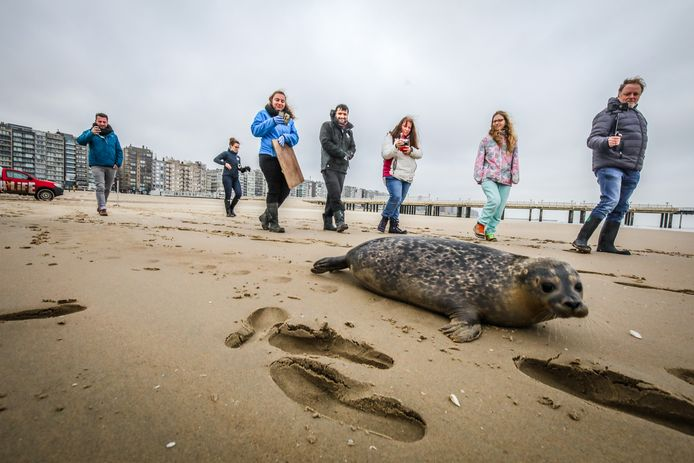 De vrijlating van een zeehond op het strand van Blankenberge.