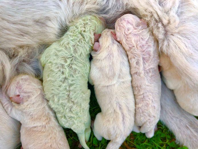 Puppy Pistacchio werd geboren met een groene vacht op een boerderij op het eiland Sardinië.