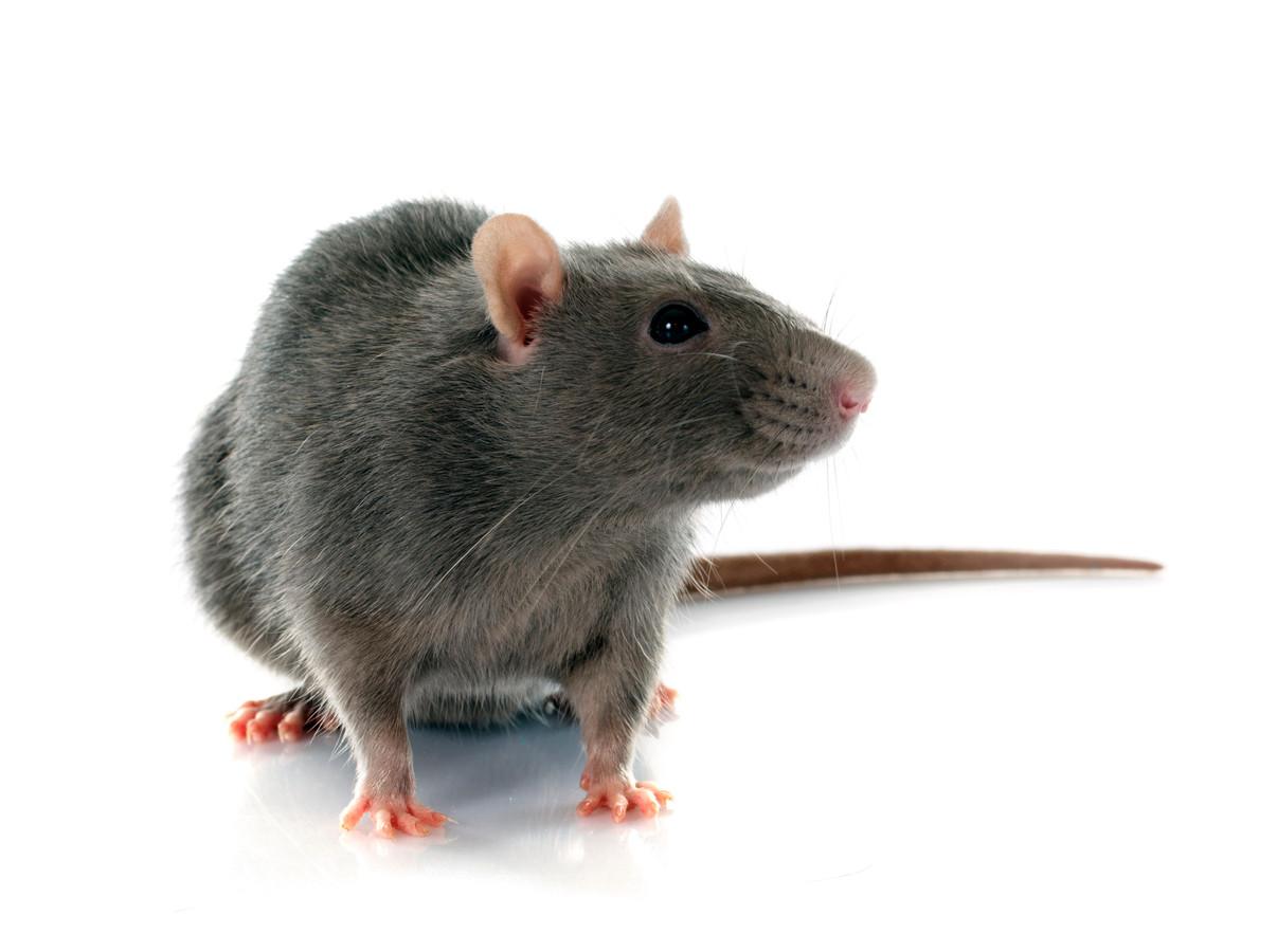 De ratten houden zich op aan de beek achter de huizen in de buurt.