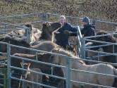Deze 19 Flevolandse paarden gaan via Texel naar de slacht. Hoe normaal is dat?