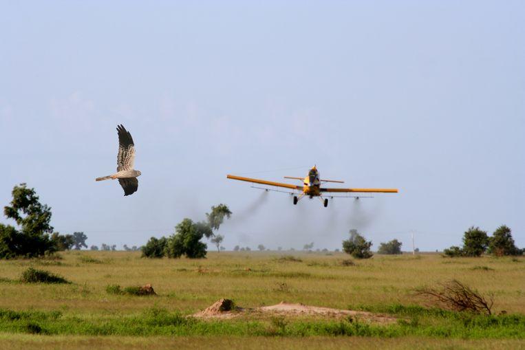 Grauwe kiekendief en spuitvliegtuig met de schimmel 'Green Muscle'. Beeld Wim Mullié