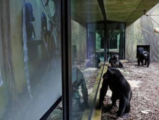 Zoom Calls voor chimpansees: apen in dierentuinen nemen deel aan videomeetings