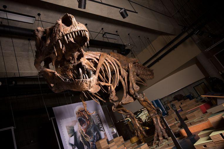 Scotty, de grootste tyrannosaurus rex ter wereld. Beeld AFP