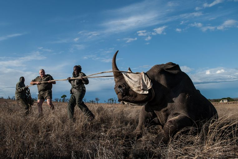 Witte neushoorns worden door rangers gevangen in het Kruger Nationaal Park om ze over te plaatsen naar veiliger parken elders in het  land.  Beeld AFP