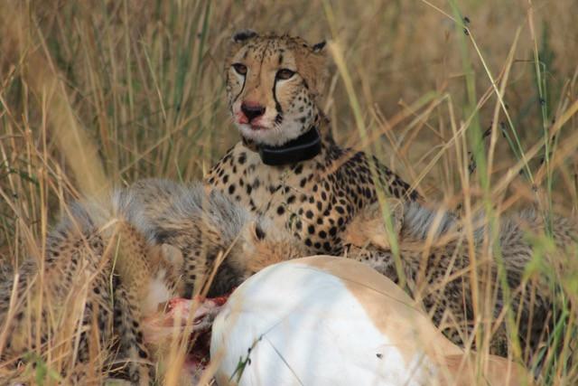 Een cheeta met een Smart Parks halsband.