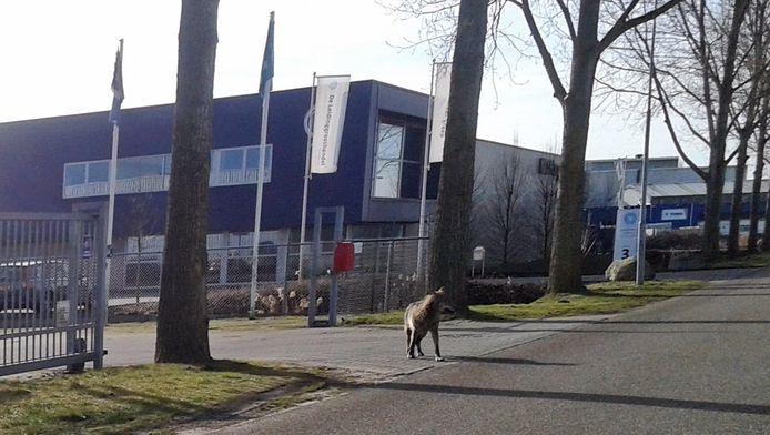De wolf liep gisteren op een industrieterrein in Hoogezand
