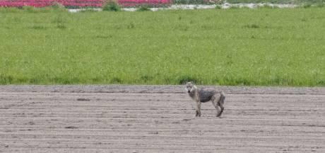 Eerste wolf in West-Brabant gefotografeerd bij Dinteloord, specialist bevestigt: 'Dit is er één'