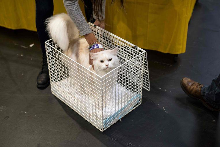 Een kat tijdens de Supreme Cat Show in Birmingham in oktober.  Beeld AFP