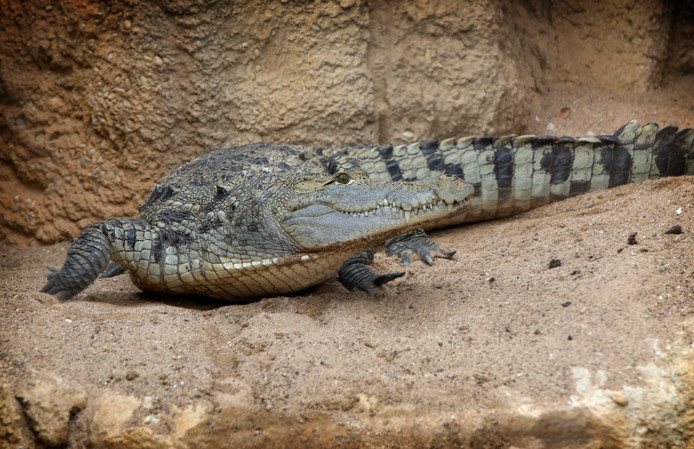 Een krokodil in Diergaarde Blijdorp.