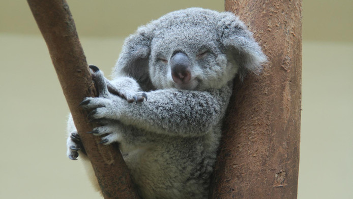 Le koala est l'une des espèces les plus en danger