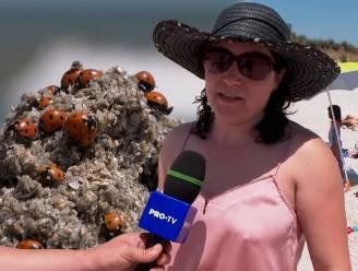 """Invasie van lieveheersbeestjes op Roemeense stranden: """"Ze kruipen in je neus, mond en oren"""""""