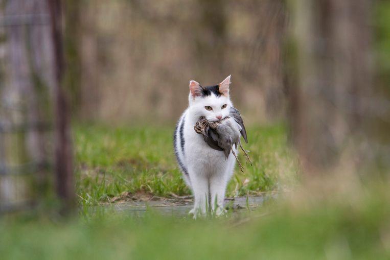 Boerenkat doodt watersnip. Beeld Luc Hoogenstein
