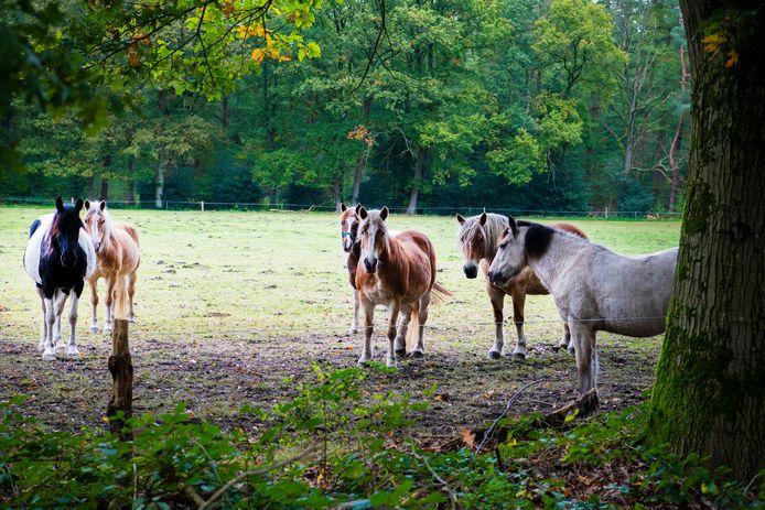 Paarden in een wei (archieffoto ter illustratie).