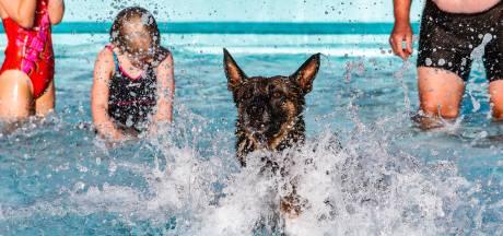 Tientallen honden nemen laatste duik in zwembad: 'Elk jaar weer een succes''