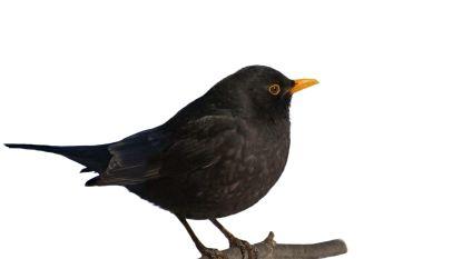 Merel verkozen tot Vogel van het Jaar