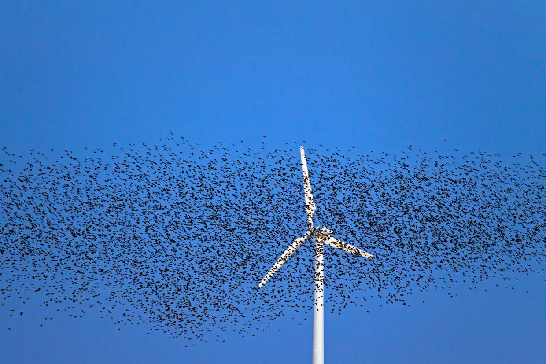 Een zwerm spreeuwen vliegt voorbij een windmolen. Volgens Wagenings onderzoek hebben spreeuwenpopulaties te lijden onder windmolens. Beeld Universal Images Group via Getty