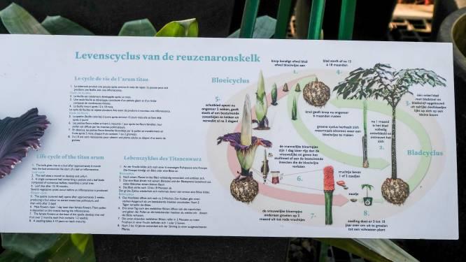 """Uitzonderlijk grote reuzenaronskelken in Plantentuin Meise: """"Exemplaar van deze week wordt groter dan 2.40 meter"""""""