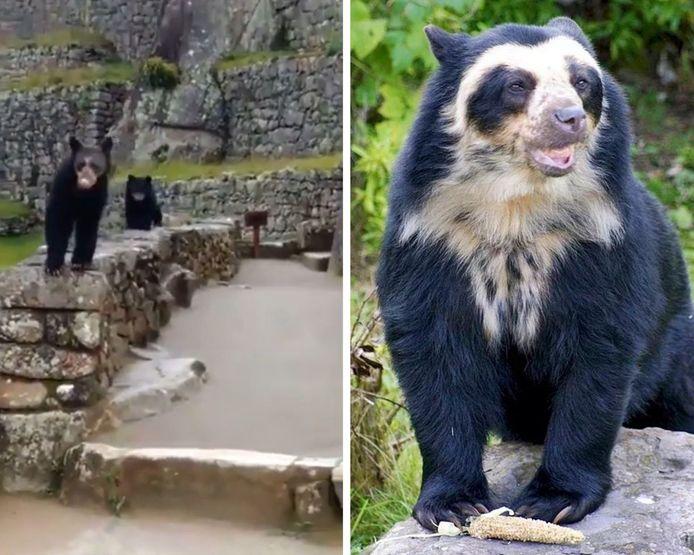 """Habitant des Andes, """"l'ours à lunettes"""" est l'une des espèces d'ours la plus rare au monde."""