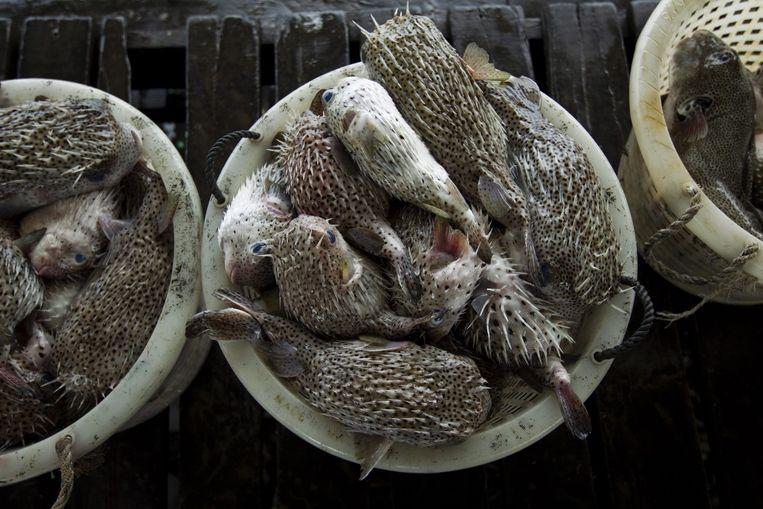 Kogelvissen op een markt in Maleisië. Beeld epa