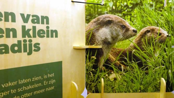 """'Olga de otter' palmt Blaasveldbroek in: """"Willen ideale omgeving creëren voor bijzonder dier"""""""