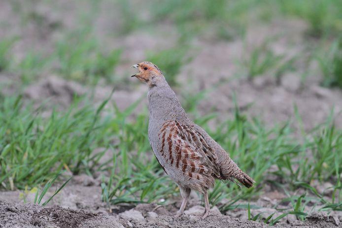 De patrijs is een van de diersoorten die wel een beetje hulp kan gebruiken op Tholen.