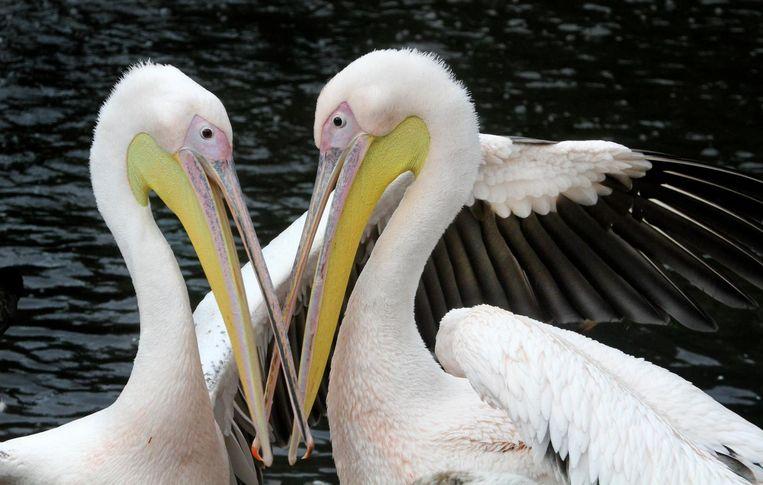 Ook deze roze pelikanen komen in de rondleiding voorbij Beeld ARTIS